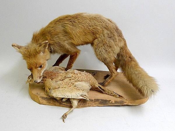 Taxidermy: a fox and pheasant mounted on a sawn