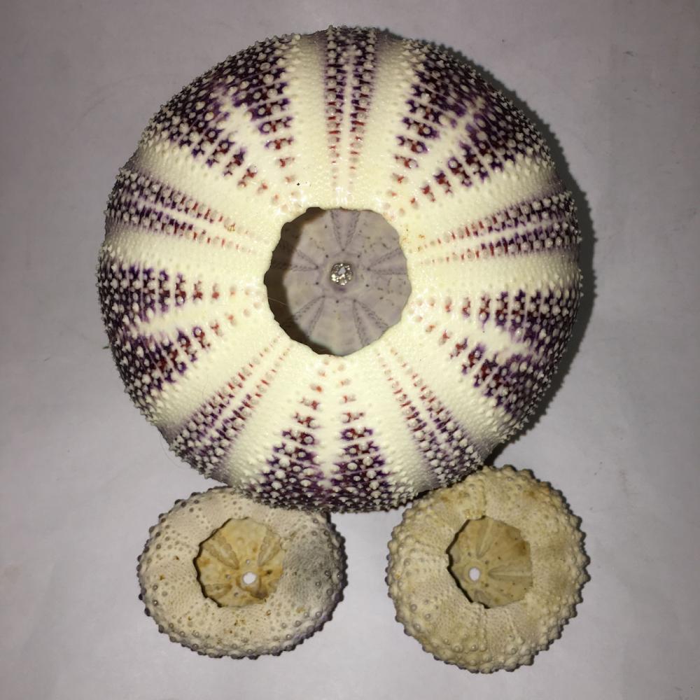 sea urchin decor.htm group of 3 sea urchin shells  group of 3 sea urchin shells