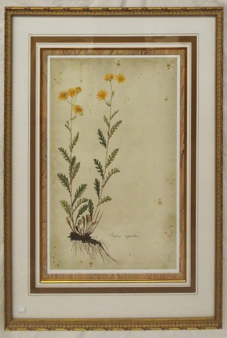 Colored Print, Senecio Rupestris