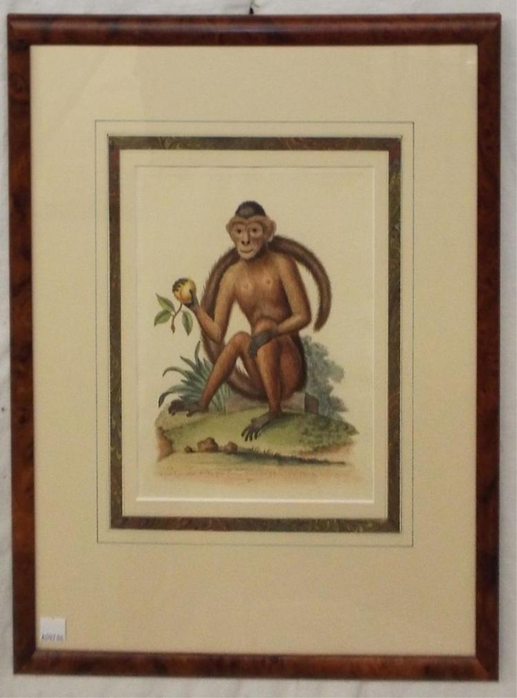 George Edwards Hand Colored Engraving, Moneky
