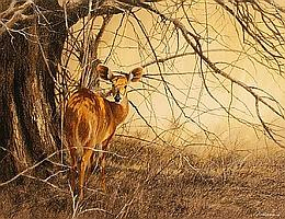 Kim Donaldson (South African, born 1952) Bushbuck