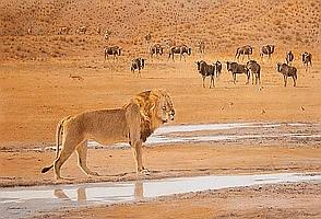 Kim Donaldson (South African, born 1952) Lion and wildebeest at the Ayob River, Botswana