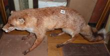 Taxidermy: stuffed fox