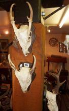 Three wall mounted deer skulls