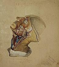 [Anatomy]. (Human facial anatomy). Drawing, pencil