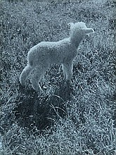 Besnyö, E. (1910-2003). (A lamb in a field).