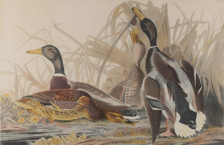 MALLARD DUCK CHROMOLITHOGRAPH AFTER AUDUBON