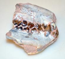 Fossil oreodon jaw/teeth- fully mineralized