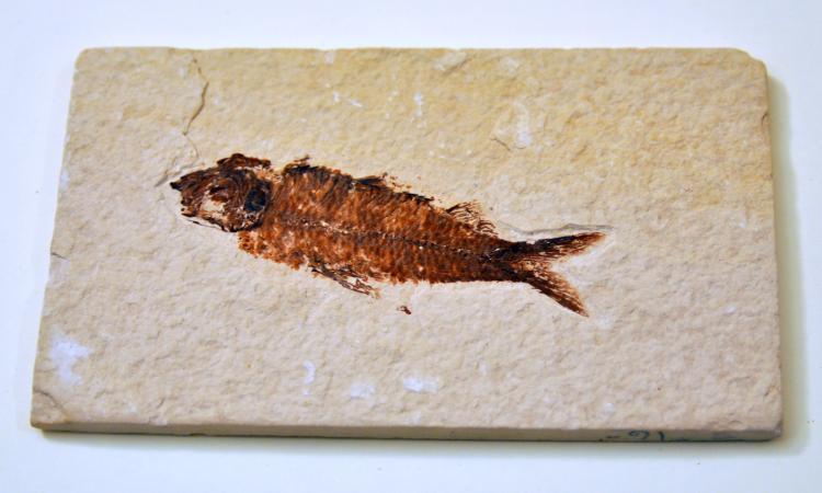 Fish fossil specimen Wyoming location
