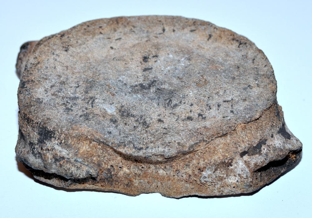 Vertebrae mineralized fossil specimen