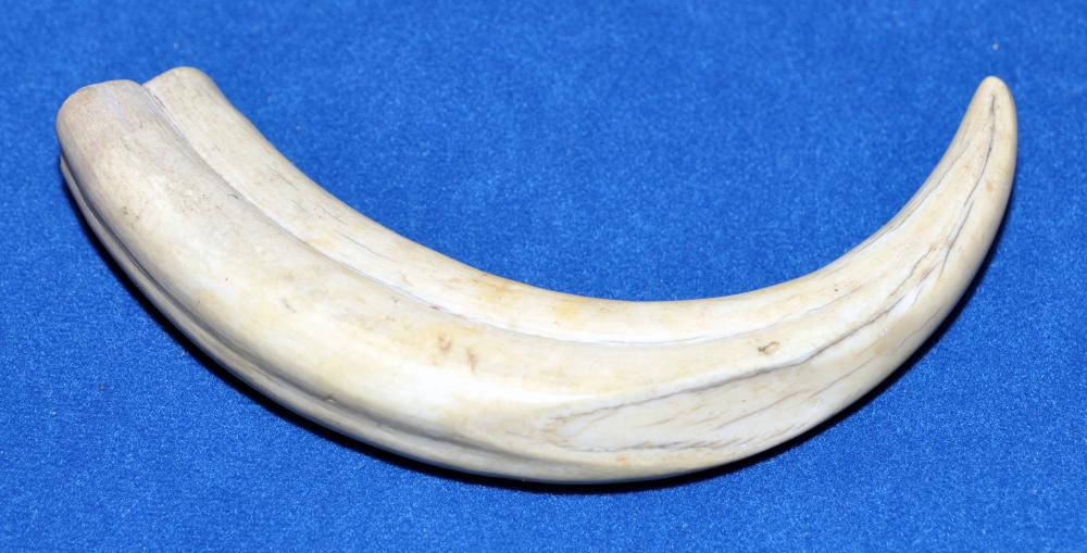 Wart hog tusk - 6-7 inches long