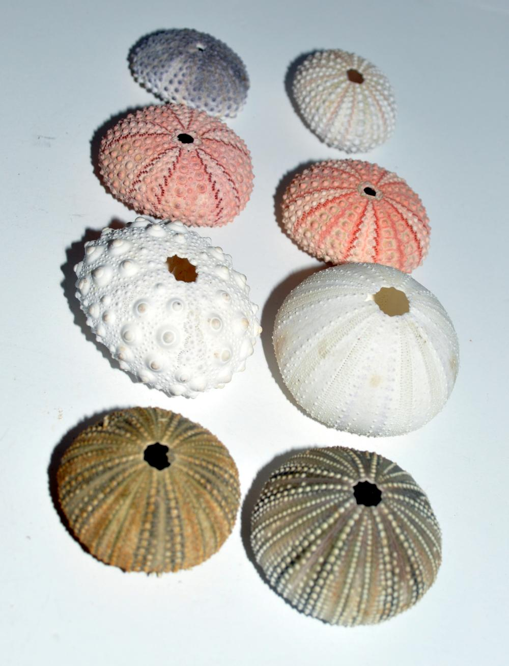 Sea urchin collection - 8
