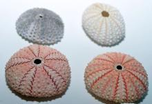 Lot 212: Sea urchin collection - 8