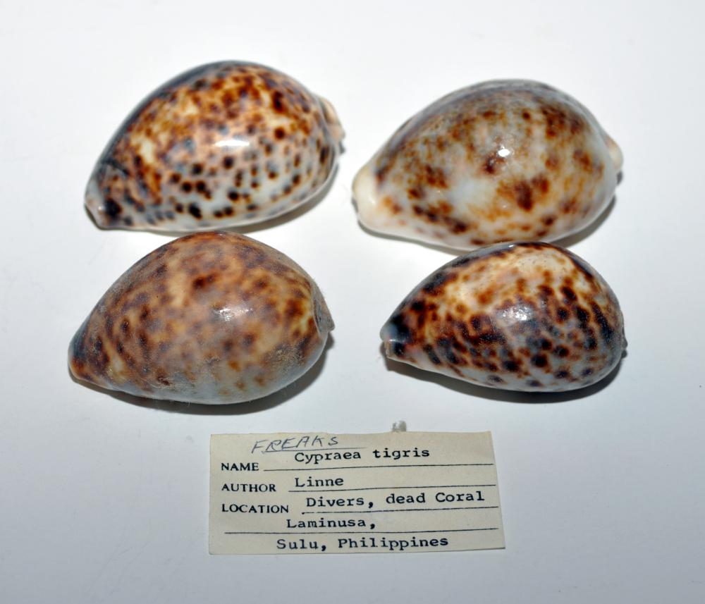 4 tiger cowries Phillippines