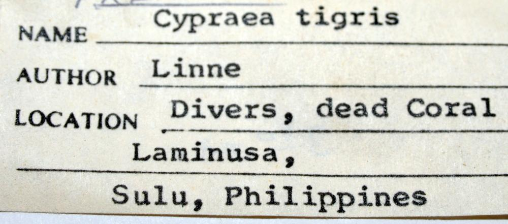 Lot 242: 4 tiger cowries Phillippines