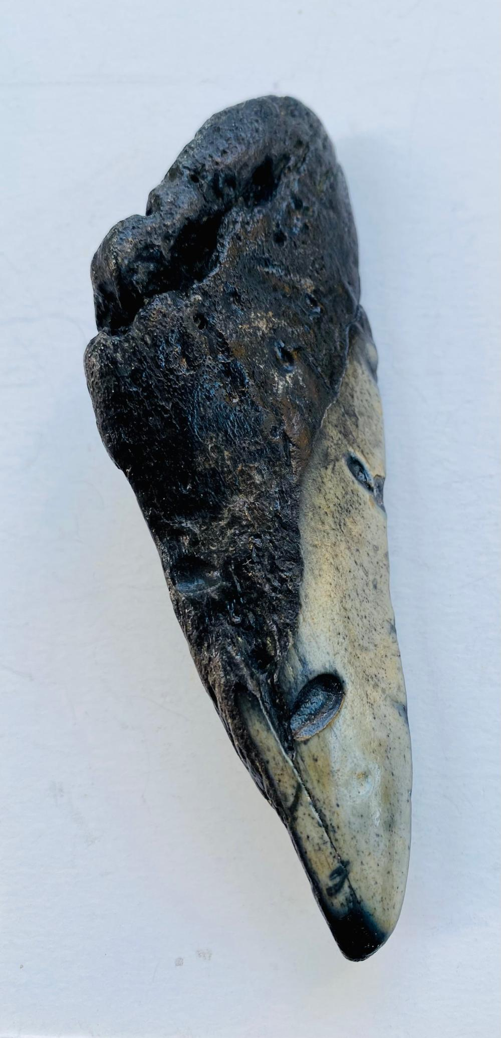 Megaladon partial shark tooth fossil