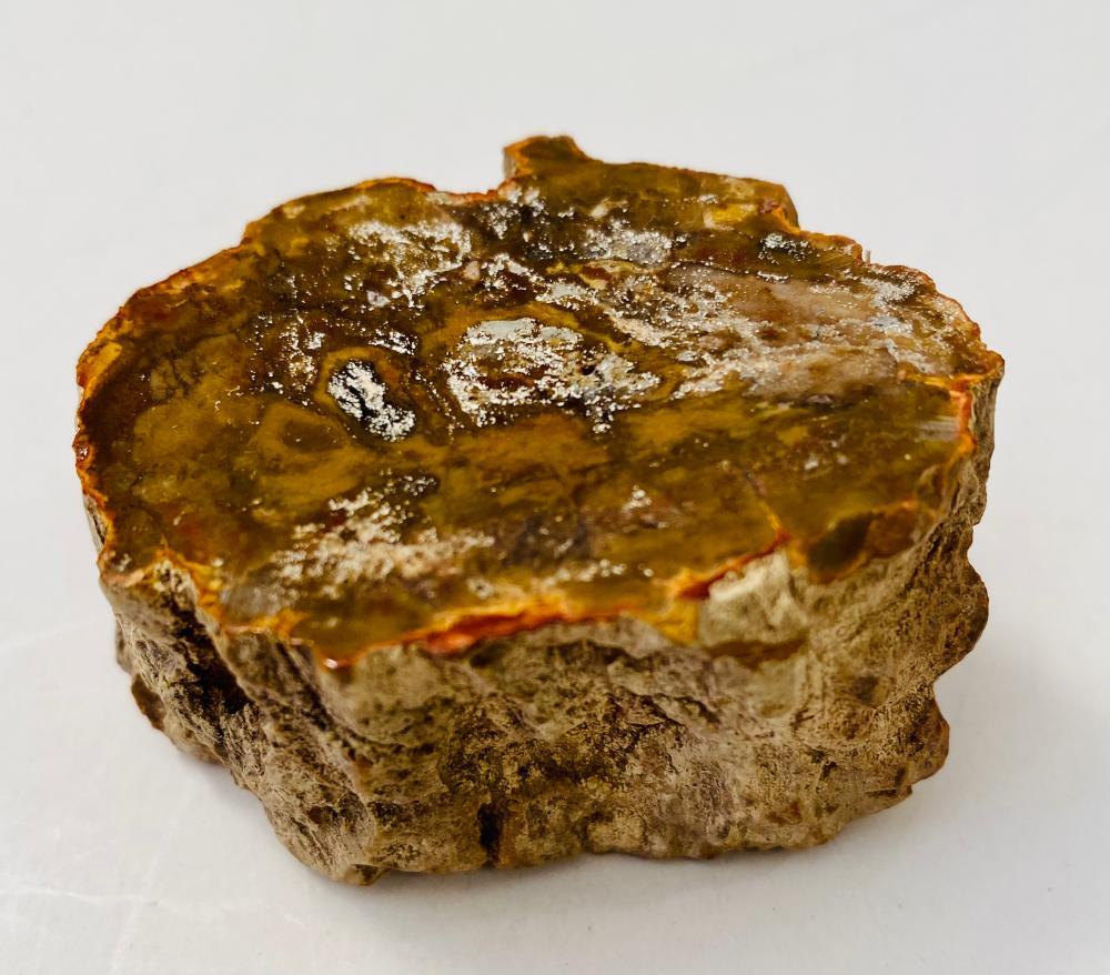 Petrified wood specimen ancient