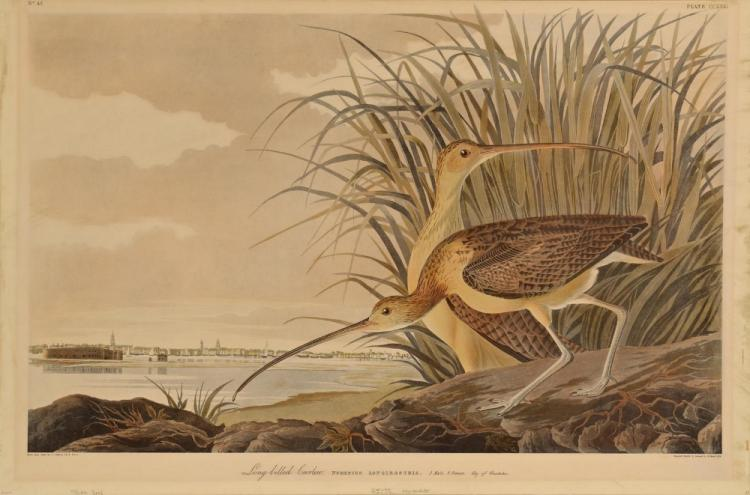 After Audubon, Long Billed Curlew