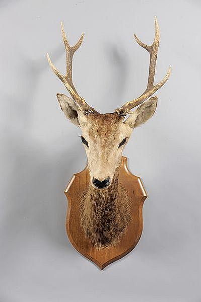 Cerf élaphe (5 cors) (CH): taxidermie ancienne. Cervus elaphus.
