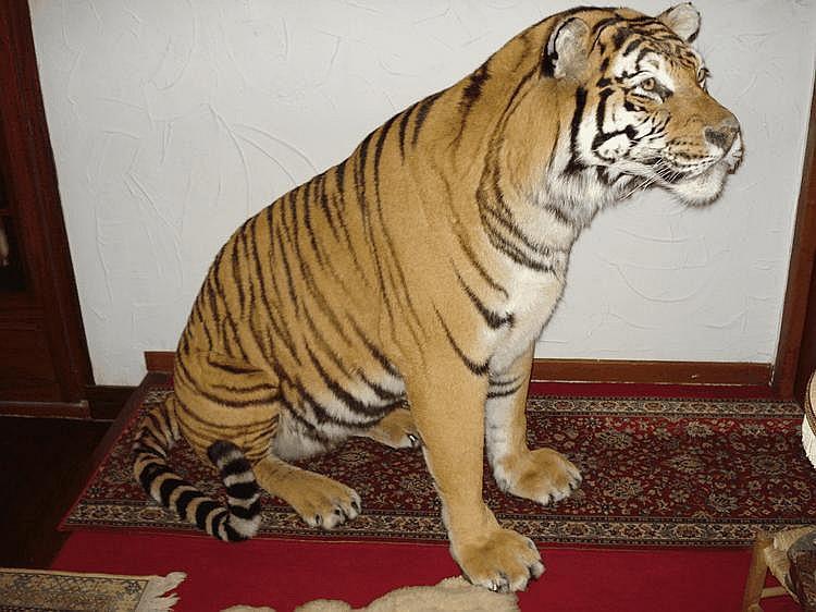 Tigre (I/A -CIC-pucé ) Panthera tigrisMagnifique spécimen naturalisé en stature assise , mis en vente sur désignation , vendu avec document CITES ( CIC) délivré par l'administration.