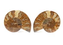 TWO CUT AND POLISHED AMMONITE HALVES  Both 12cm wide, (2)  Footnotes: Ammonites are extinct molluscs that lived between the Devonian and the Cretaceous period, they are closely related to modern octopuses and squid, Their fossil shells are amongst the most easily identifiable of fossils with their characteristic spiral patterns.