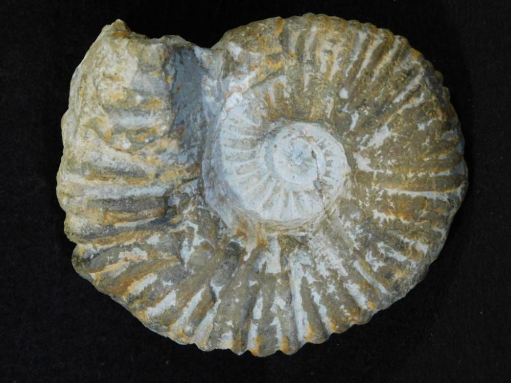 MOROCCAN FOSSIL