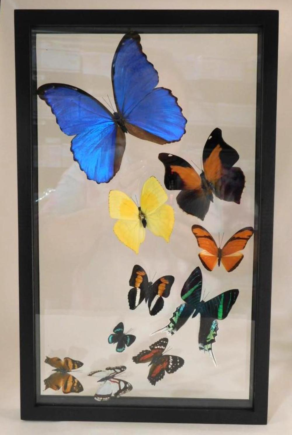 SPECTACULAR MIXED BUTTERFLY TAXIDERMY IN DISPLAY CASE
