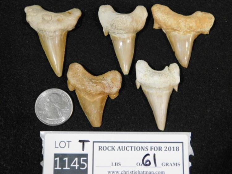 SHARK TEETH FOSSILIZED FOSSIL (YES WE SHIP)
