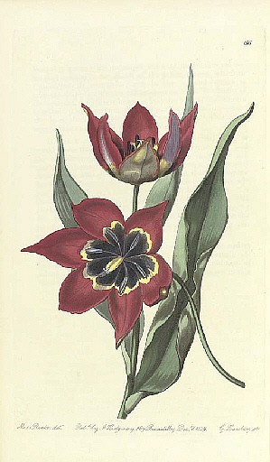 EDWARDS, Sydenham Teast (c.1768-1819).  The Botanical Register . London: James Ridgeway, 1815-1844.