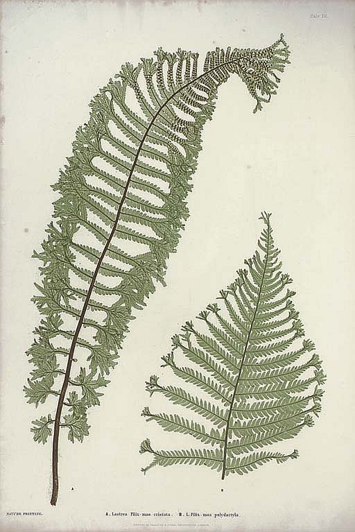 MOORE, Thomas (1821-1887) and Henry BRADBURY (1831-1860, illustrator).  The Ferns of Great Britain and Ireland ... Nature-Printed by Henry Bradbury , edited by John Lindley. London: Bradbury and Evans, '1855' [1856].