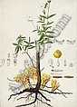 A flax plant (Linum usitatissimum) with subsidiary studies of moths and lavae, Antoine Poiteau, Click for value