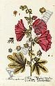 ELIZABETH BLACKWELL (1720-1774), Elizabeth Blackwell, Click for value