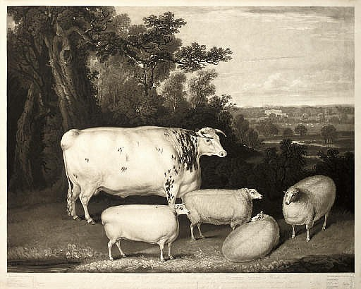 Portraits of the Blyth Comet Ox and Four Wether Sheep