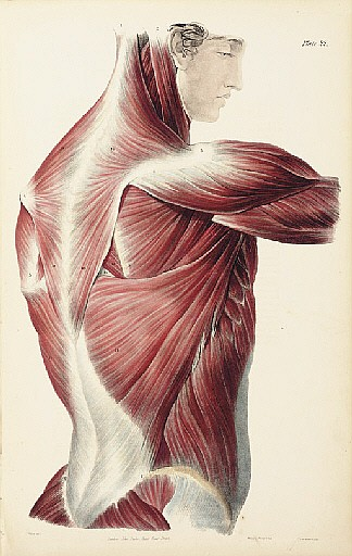 QUAIN, Jones (1796-1865) and William James Erasmus WILSON (1809-1884). A Series of Anatomical Plates , comprising: The Muscles of the Human Body . - The Vessels of the Human Body . - The Nerves of the Human Body . - The Viscera of the Human Body