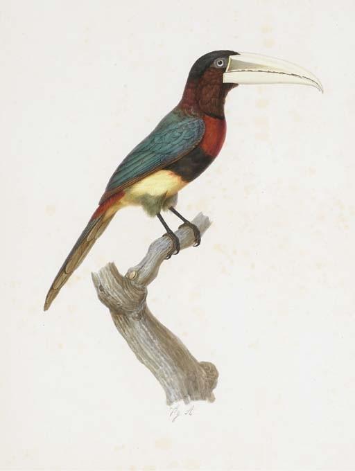 [BARRABAND, Jacques (1767/68-1809)]. <I>Aracari d'Açara (Pteroglossus flavirostris)</I> (522 x