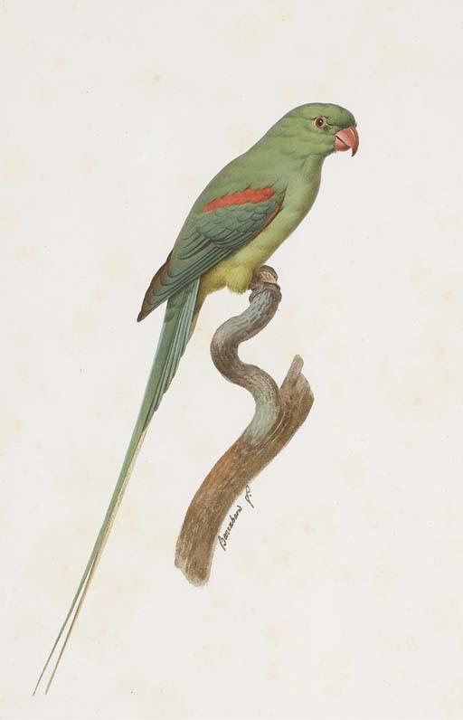 BARRABAND, Jacques (1767/67-1809). <I>Perruche alexandre, femelle (Psittacula eupatria)</I> (523