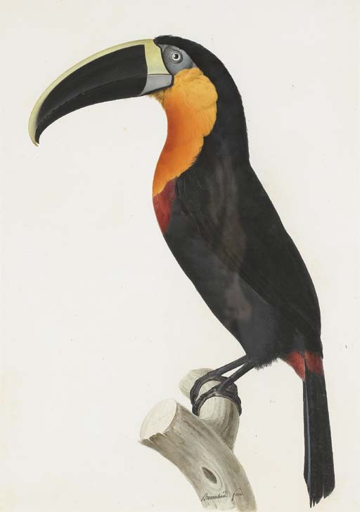 BARRABAND, Jacques (1767/68-1809). <I>Toucan vitellin (Ramphastos vitellinus)</I> (520 x 380 mm).