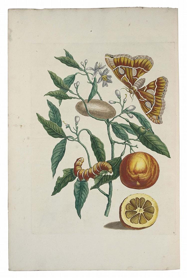 MERIAN, Maria Sibylla (1647-1717). Metamorphosis Insectorum Surinamensium. Ofte Verandering der Surinaamsche Insecten . Amsterdam: the author and Gerard Valck, [1705].