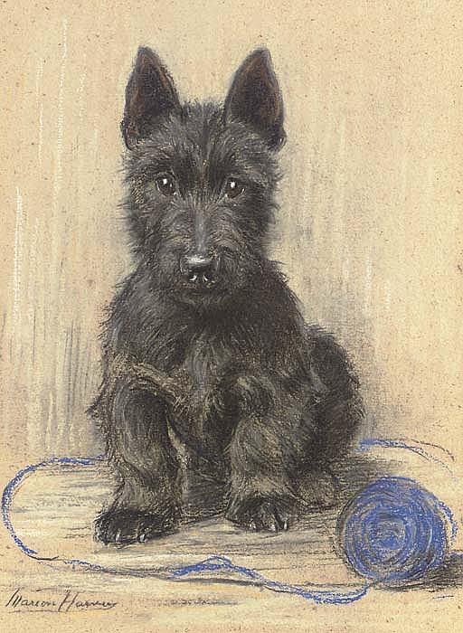 Sandy , a Scottish Terrier