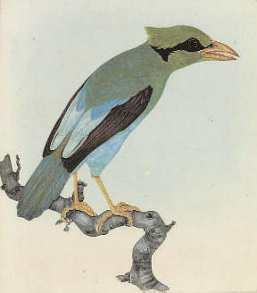Short tailed magpie. 'Cissa thalassina' (Borneo and Java)