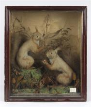 Victorian specimen display depicting tufted ear squirrels