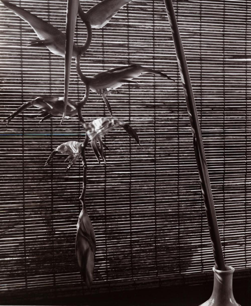 "SAM MAHL VINTAGE PHOTO "" BIRDS OF PARADISE: CIRCA 1964"