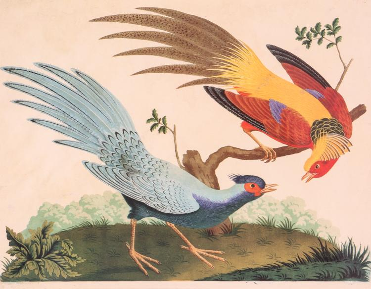 Two Hand Colored Exotic Bird Engravings Attributed to Carlo Antonio