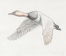 Canvasback in Flight