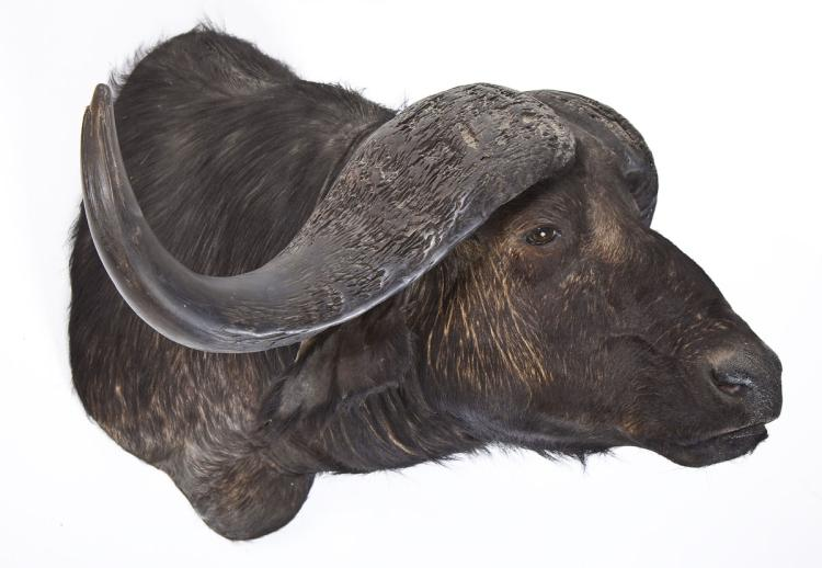 Cape Buffalo Taxidermy Shoulder Mount