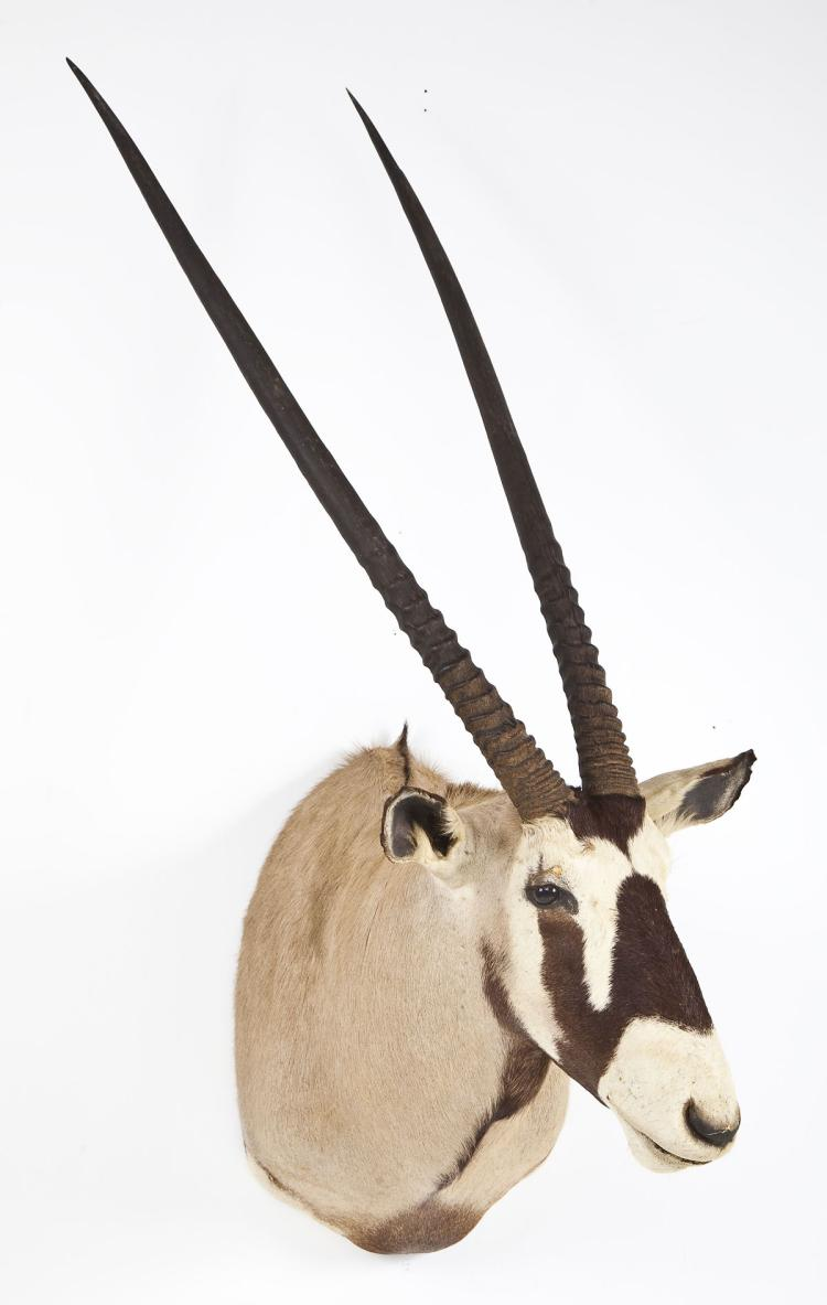 Gemsbok Taxidermy Shoulder Mount