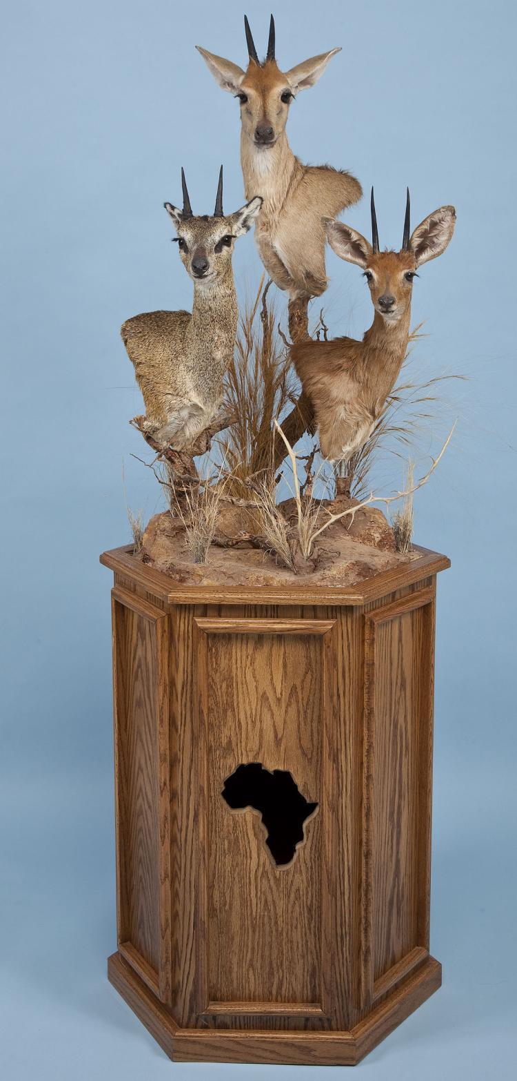 African Multi Head Taxidermy Shoulder Mount