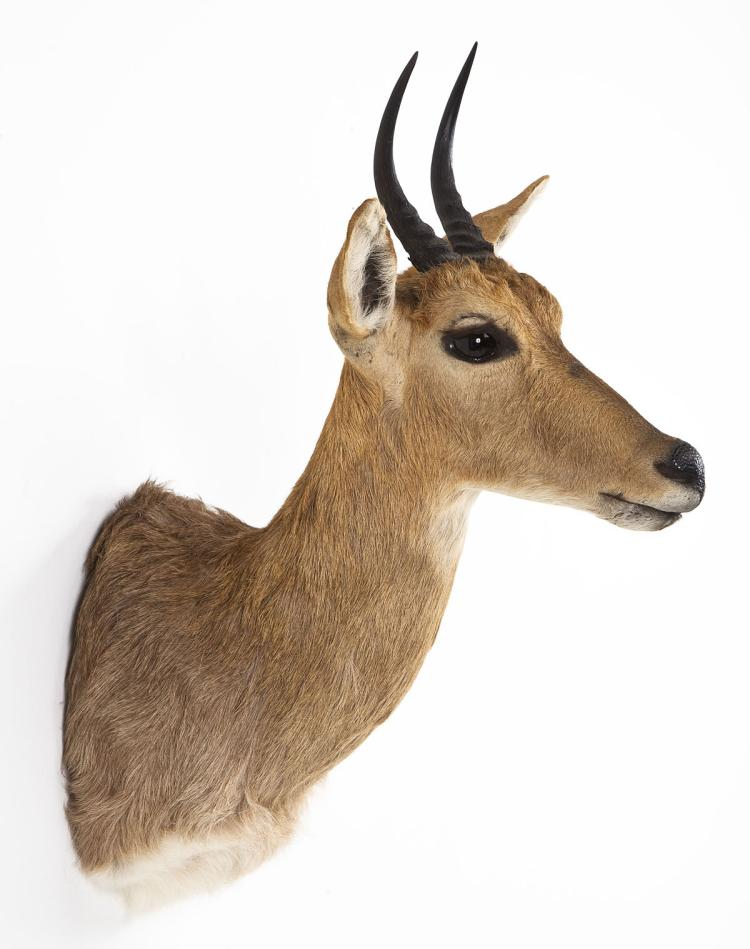 Mountain Reed Buck Taxidermy Shoulder Mount