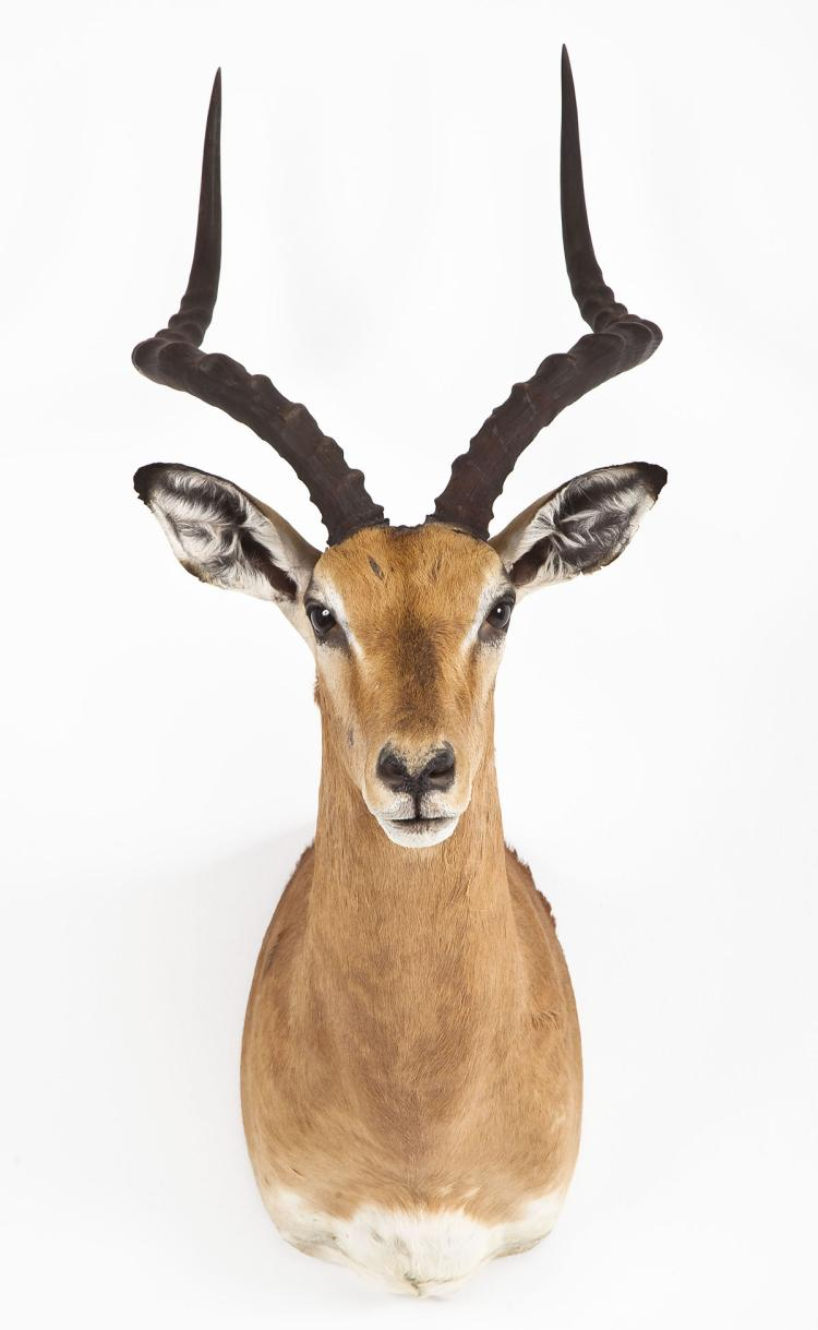 Impala Taxidermy Shoulder Mount