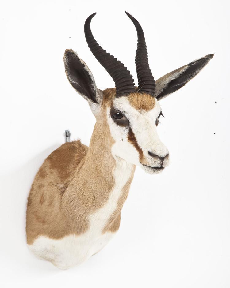 Springbok Taxidermy Shoulder Mount